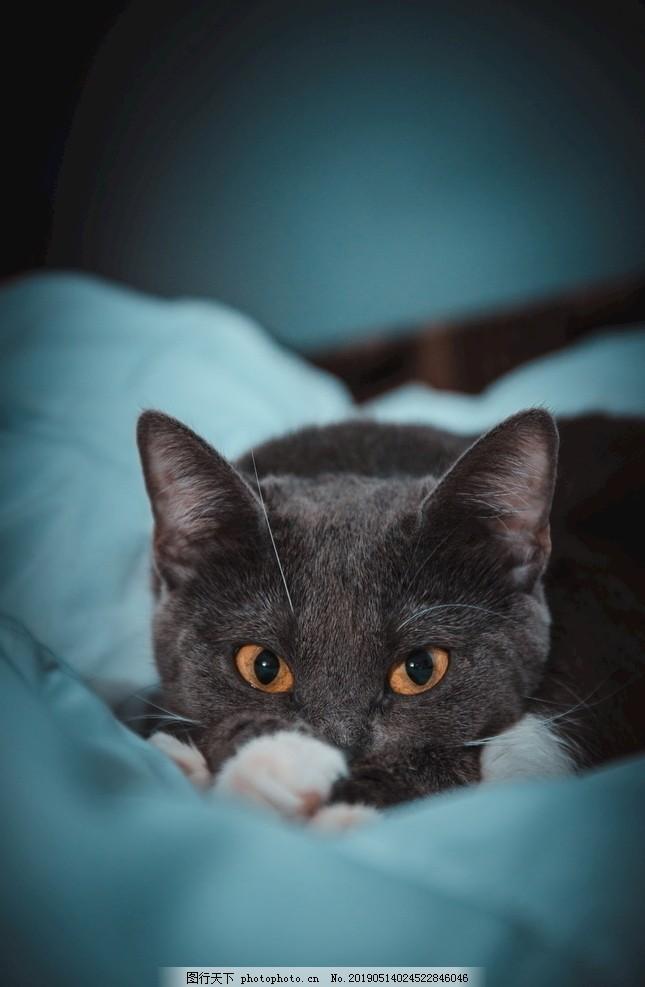 可爱英短蓝猫
