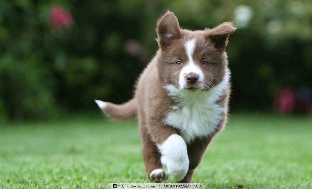 奔跑的狗,狼狗,素材,小狗,可爱,毛茸茸,软毛