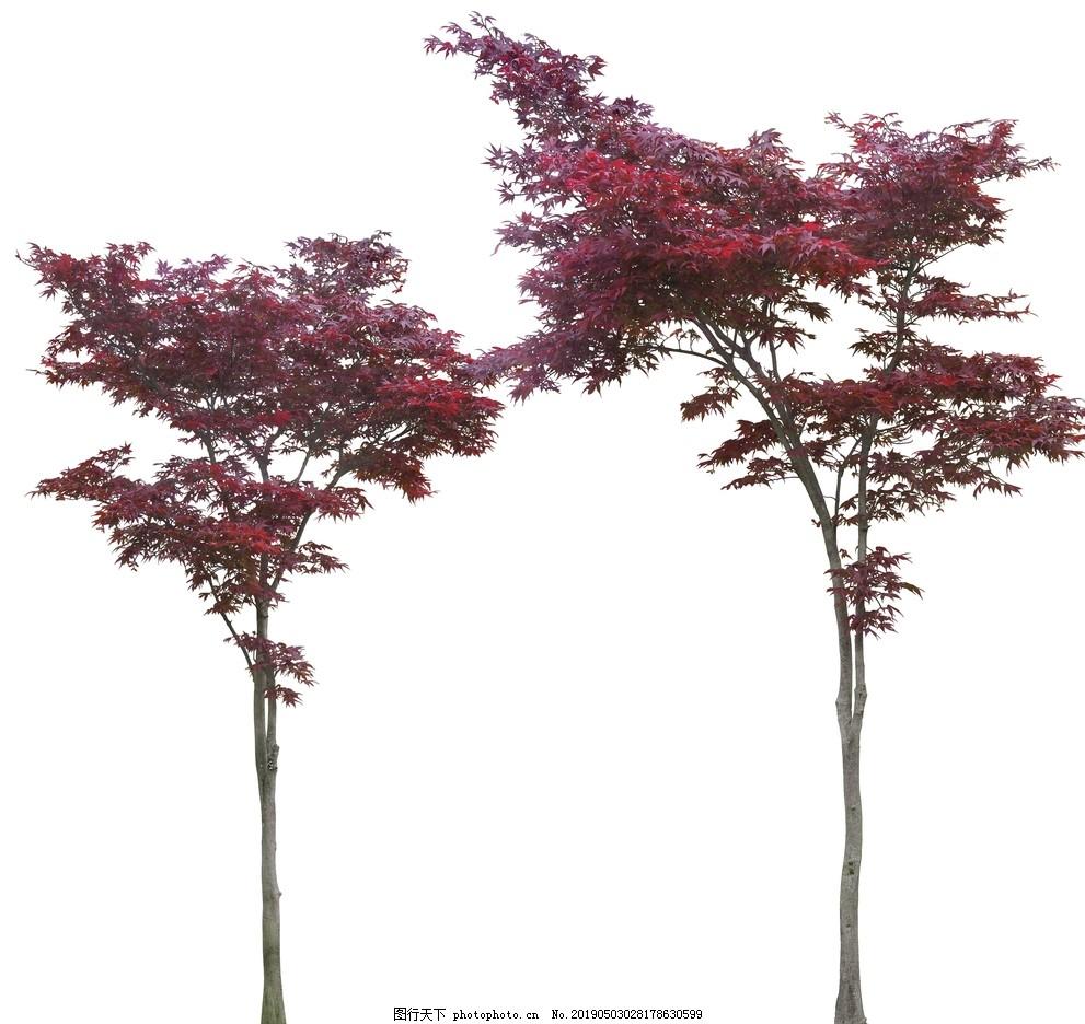 红叶树psd素材,红叶树素材,乔木,树木,PSD,植物素材,植物PSD素材