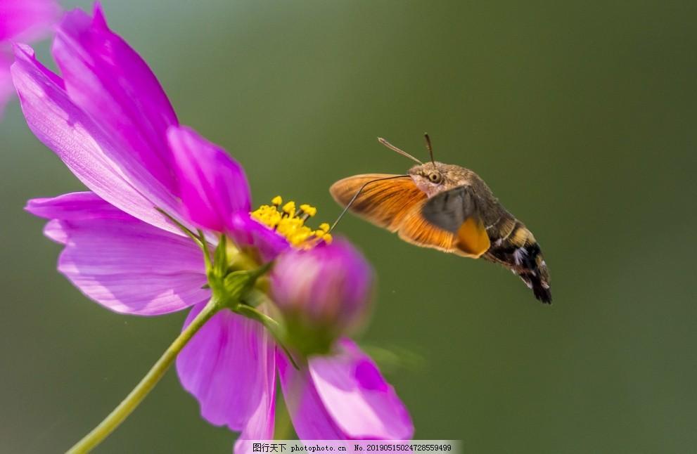 蜂鸟,飞鸟,小鸟,摄影,素材,生物世界,鸟类