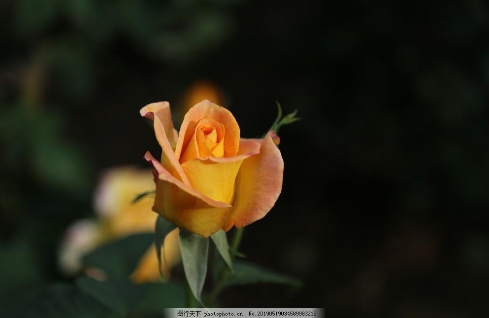 月季花,观,绽放,自然,玫瑰,浪漫,背景