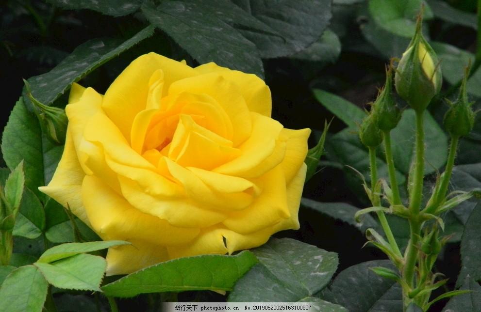 月季花,月月红,蔷薇科花卉,观赏花卉,花骨朵,植物,园林绿化