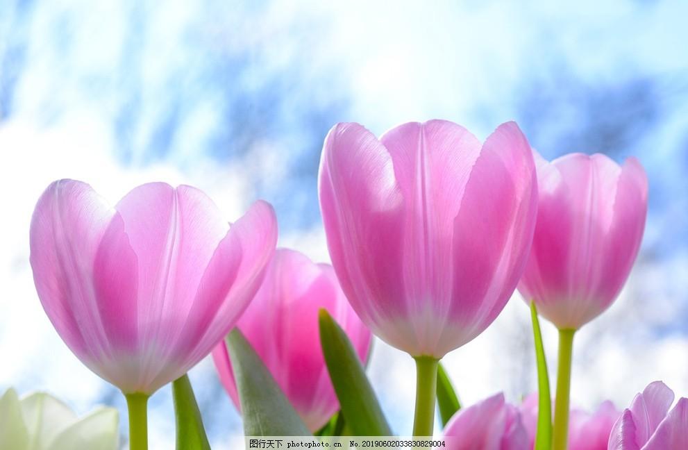 粉色花,鲜花,花卉,菊花,郁金香,野花,玫瑰花