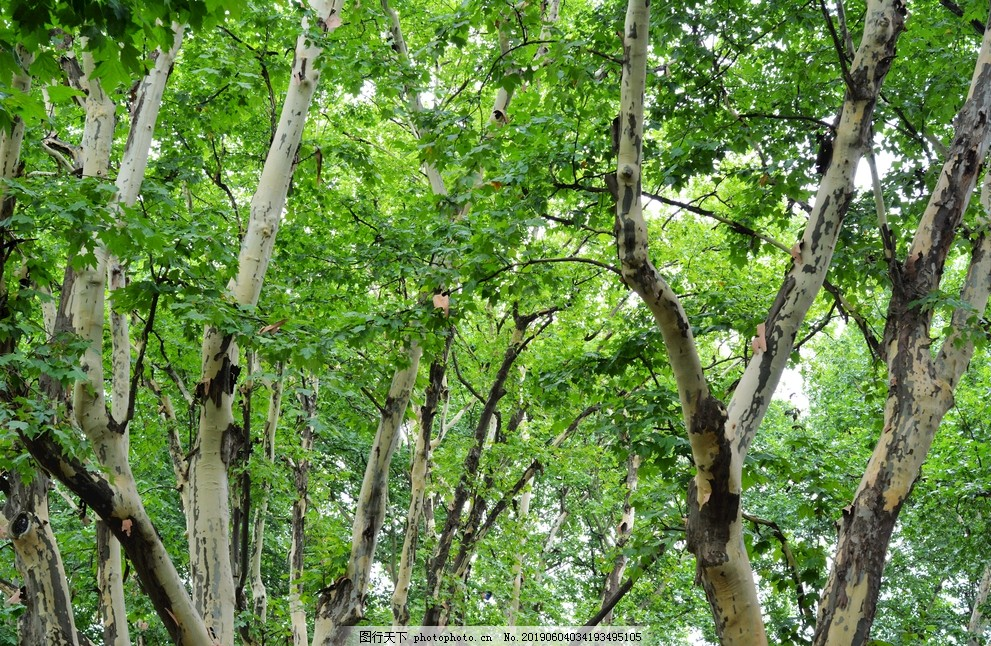 绿色梧桐树,树林,上海风光,公园,旅游风景,景观,自然