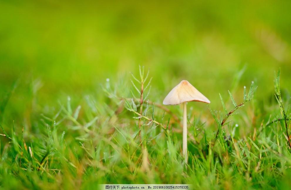 小蘑菇,菌菇,野山菌,摄影,素材,生物世界,其他生物