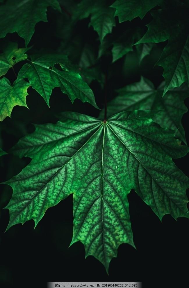 绿叶,春天,盆栽,绿植,绿色,黑底,清新